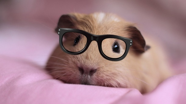 344545-cute-guinea-pigs-hd-wallpaper