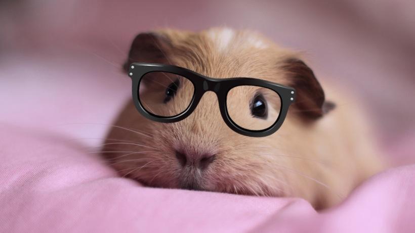 344545-cute-guinea-pigs-hd-wallpaper